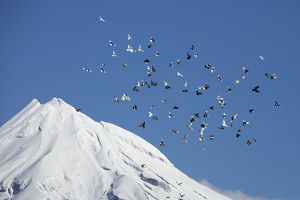 Pigeons and Mt Taranaki / Mt Egmont, Taranaki, North Island, New Zealand
