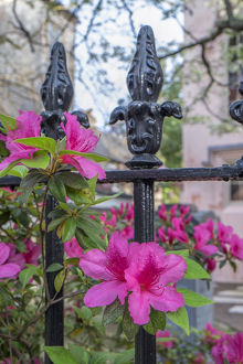 usa/south carolina/pink azalea wrought iron fence charleston south