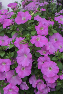 usa/south carolina/pink petunias charleston south carolina usa