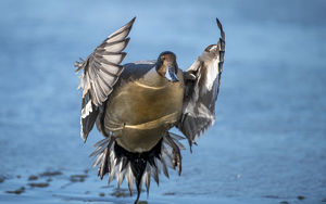animals/pintail duck anas acute wide geographic distribution