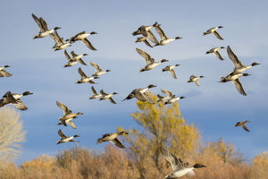 animals/pintails anas acuta flock flying