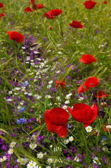 poppy flowers, istria, croatia, eastern europe. balkan, europe