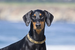 Portrait of a Doberman Pinscher with blue background