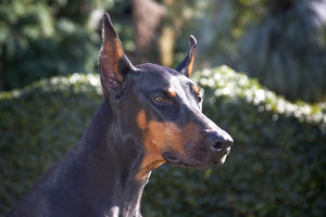 Portrait of a Doberman Pinscher with a green background and early morning light