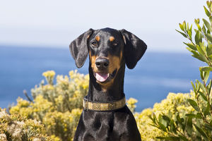 Portrait of a happy Doberman with surrounded by yellow flowers