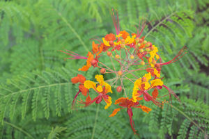 Pride of Barbados, Austin, Texas, USA