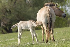 Przewalskis Horse or Takhi (Equus ferus przewalskii) in the wildlife center of the