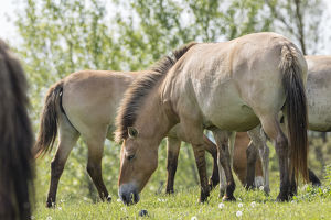 Przewalskis Horses or Takhi (Equus ferus przewalskii) grazing in a field in the wildlife