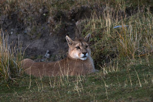 puma felis concolor patagonica waiting fence