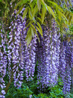 usa/purple wisteria blossoms hanging trellis