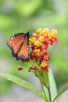 Queen butterfly, Scarlet Milkweed, USA
