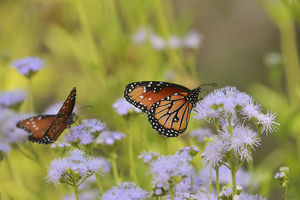 Queen (Danaus gilippus), adult feeding on blooming Gregg's Mistflower (Conoclinium