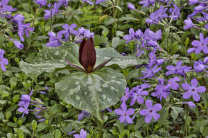 usa/red trillium blue phlox chanticleer garden wayne