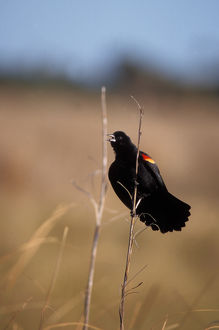 red-winged black bird, Agelaius phoeniceus, calling from a tail reed, Washington
