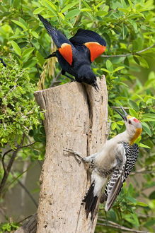 Red-winged Blackbird (Agelaius phoeniceus) adult male scolding a golden-fronted woodpecker