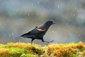 The red-winged blackbird (Agelaius phoeniceus). Caught in a spring snow shower