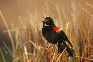Red-winged Blackbird (Agelaius phoeniceus) male singing, displaying in wetland, Marion Co