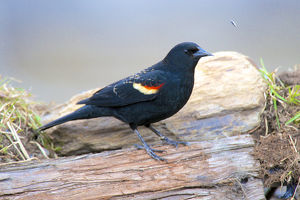 The red-winged blackbird (Agelaius phoeniceus). Male