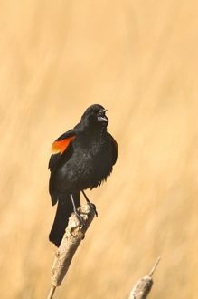 Red Winged Blackbird on a cattail at Freezeout Lake NWR in Montana