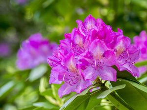 usa/rhododendrons growing forest