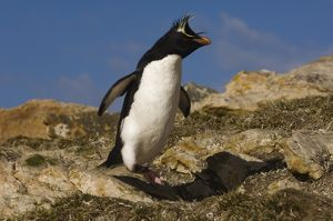 Rockhopper Penguin (Eudyptes chrysocome chrysocome) Pebble Island, off north coast