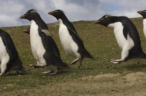 Rockhopper Penguin 'highway' (Eudyptes chrysocome chrysocome) Pebble Island