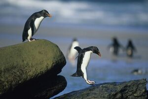 Rockhopper Penguins, (Eudyptes chrysocome), jumping, Saunders Island, Falkland Islands