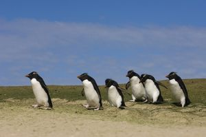 Rockhopper Penguins (Eudyptes chrysocome chrysocome) Pebble Island, off north coast