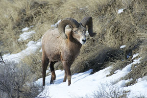 animals/rocky mountain bighorn sheep ram