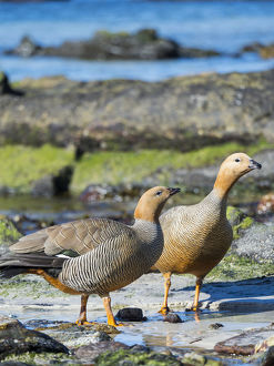 animals/ruddy headed goose chloephaga rubidiceps tidal