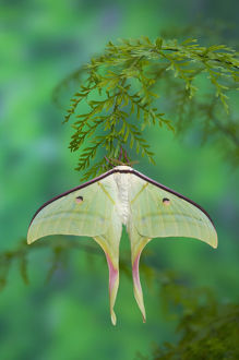 Sammamish, Washington and the Indian Moon Moth Actias selene