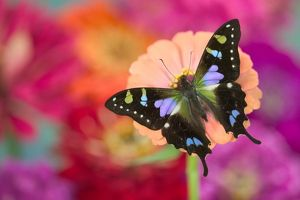 Sammamish Washington Photograph of Butterfly on Flowers, Graphium weiskei the Purple