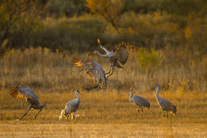 usa/new mexico/sandhill cranes grus canadensis landing roosting