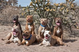 Seven American Pitt Bull Terrier dogs posing for the camera with blooming cactus