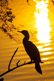 Silhouette of an Indian cormorant (Phalacrocorax fuscicollis), Keoladeo National Park