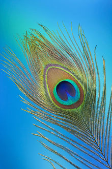Single Male Peacock tail Feather against colorful background