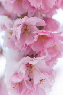 floral botanical/snow cherry blossoms spring snowstorm portland