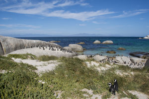 South Africa, Cape Town, Simon's Town, Boulders Beach. African penguin colony