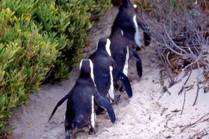 South Africa, Simons Town. Follow the leader. Jackass Penguins (Phalacrocorax capensis)