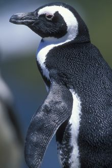 South Africa, Table Mountain National Park, African (Jackass) Penguin (Spheniscus