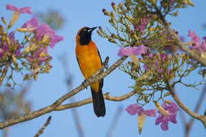 South America. Brazil. An orange-backed troupial (Icterus croconotus) harvesting