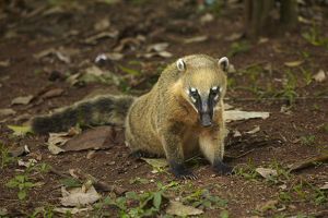 animals/south american coati nasua nasua iguazu falls