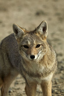 animals/south american gray fox lycalopex griseus patagonia