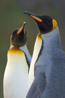 South Georgia Island, Gold Harbor. King penguins (Aptenodytes patagonicus) head detail
