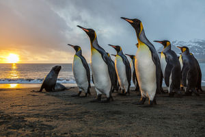 South Georgia Island, Gold Harbour. King penguins and fur seal on beach at sunrise
