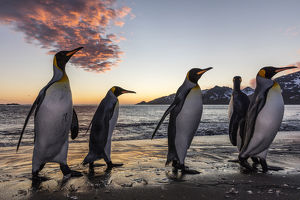 South Georgia Island, St. Andrew's Bay. King penguins emerge from water at sunrise