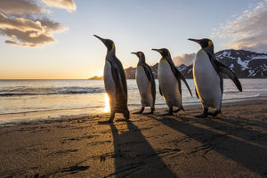 South Georgia Island, St. Andrew's Bay. King penguins walk on beach at sunrise