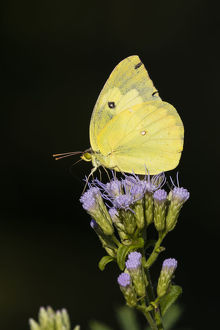 animals/southern dogface colias cesonia butterfly