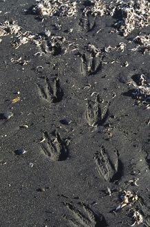 Southern Ocean, South Georgia Island. Tracks of a King Penguin (Aptenodytes patagonicus)