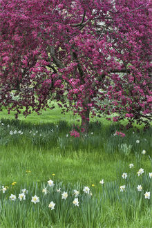 usa/springtime crabapple rose blooming chanticleer garden